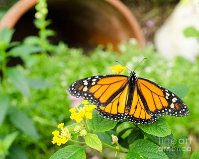 Photograph - Butterflies 4 by Andrea Anderegg