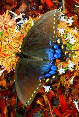 Photograph - Butterflies 7 by Ron Kandt