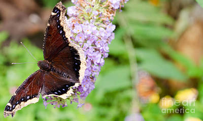Photograph - Butterflies 9 by Andrea Anderegg