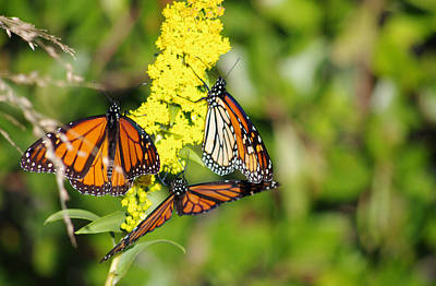 Photograph - Butterflies Abound by Greg Graham