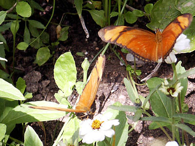 Photograph - Butterflies And Daisies by Tarey Potter