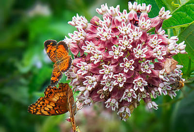 Photograph - Butterflies And Milkweed by Mary Almond
