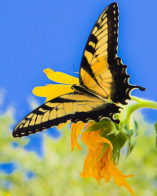 Blue Swallowtail Photograph - Butterflies Are Free by Annette Hugen