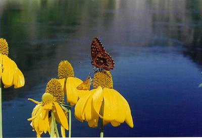 Animal Paintings David Stribbling Royalty Free Images - Butterflies in the Canyon Royalty-Free Image by Scott Goodsell