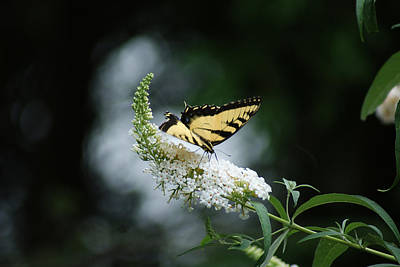 Photograph - Butterflies by Margie Avellino
