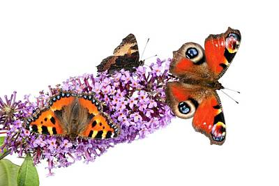 Peacock Butterfly Photograph - Butterflies On A Buddleia by Alex Hyde