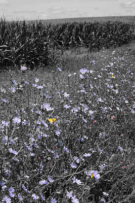 Photograph - Butterflies On Chicory by Dylan Punke