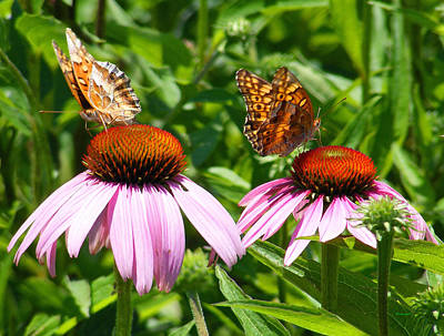 Photograph - Butterflies On Echinacea Flowers by Duane McCullough