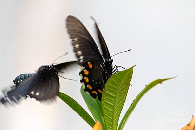 Butterflies Playing Art Print by Jay Nodianos