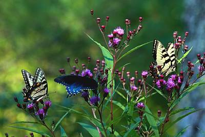 Photograph - Butterflies Three by Carol Montoya