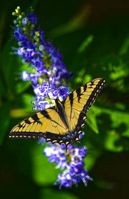 Butterflly Bush And The Swallowtail Art Print by Sandi OReilly