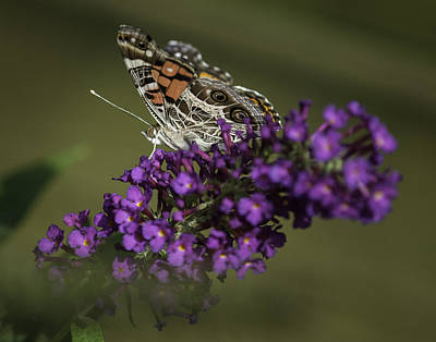 Photograph - Butterfly 0001 by Donald Brown