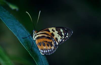 Queen - Butterfly 15 C by Rob Hans