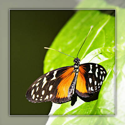 Photograph - Butterfly 17b by Walter Herrit