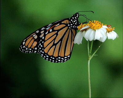 Art Print featuring the photograph Butterfly 3 by Leticia Latocki