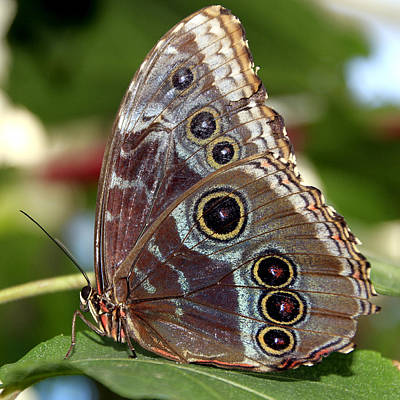 Photograph - Butterfly 4 by Bob Slitzan