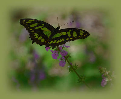 Art Print featuring the photograph Butterfly 4 by Leticia Latocki