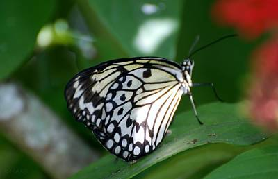 Photograph - Butterfly 7c by Rob Hans