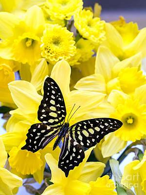 Blue Swallowtail Photograph - Butterfly Among The Daffodils by Edward Fielding