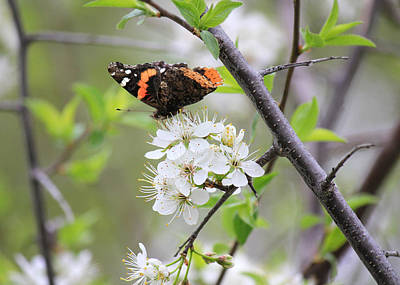 Art Print featuring the photograph Butterfly And Apple Blossoms by Penny Meyers