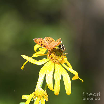 Photograph - Mormon Fritillary Red-tailed Bee by Martha Marks