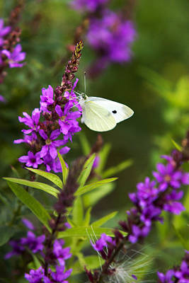 Photograph - Butterfly And Bouquet by Christina Rollo