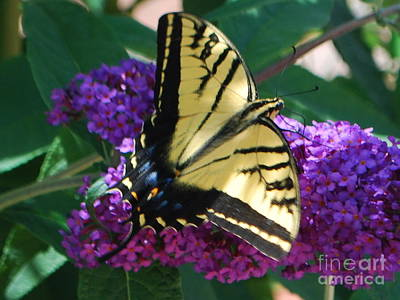 Art Print featuring the photograph Butterfly And Bush by William Wyckoff