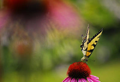 Photograph - Butterfly And Cone Flower by Elsa Marie Santoro