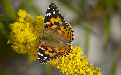 Photograph - Butterfly And Goldenrod by Greg Vizzi
