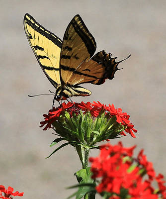 Art Print featuring the photograph Butterfly And Maltese Cross 1 by Aaron Aldrich