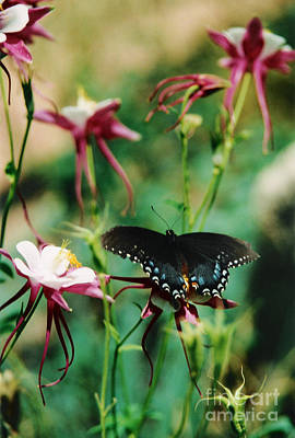 Photograph - Butterfly And Pink Columbine by Heather Kirk