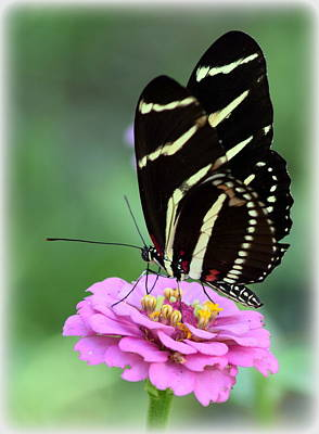 Photograph - Butterfly And Pink Zinnia V by Sheri McLeroy