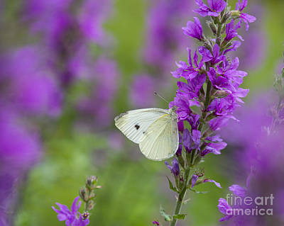 Photograph - Butterfly And Purple by Alana Ranney