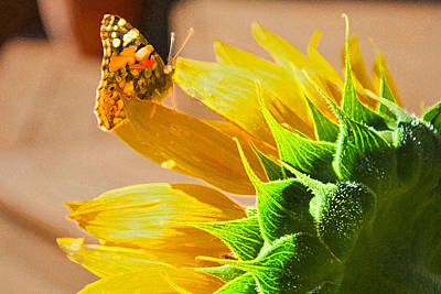 Butterfly And Sunflower Meeting Art Print
