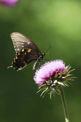 Photograph - Butterfly And Thistle by Corey Haynes