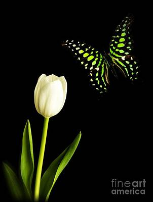 Butter Fly Photograph - Butterfly And Tulip by Edward Fielding
