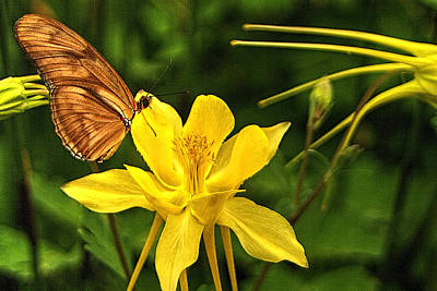 Photograph - Butterfly And Yellow Columbine by Roger Passman
