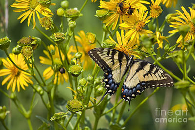 Photograph - Butterfly And Yellow Daisies by Jill Lang