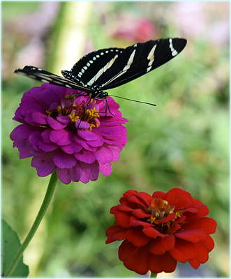 Photograph - Butterfly And Zinnias by Sheri McLeroy