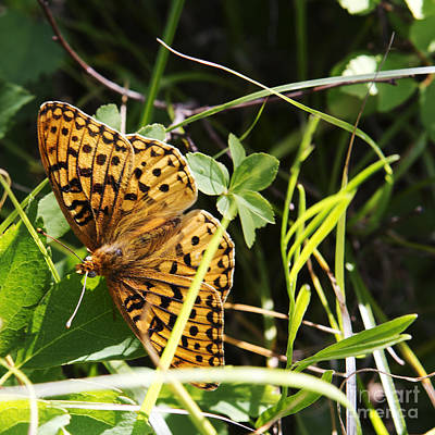 Butterfly At Signal Mountain Art Print by Belinda Greb
