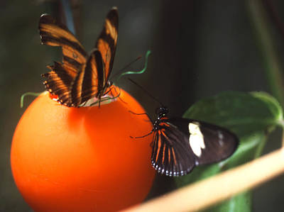 Photograph - Butterfly Ball by Robert  Rodvik