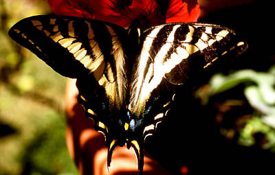 Photograph - Butterfly Beaut by Robert  Rodvik