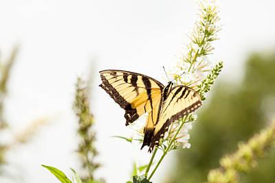 Photograph - Butterfly Beauty by Karol Livote