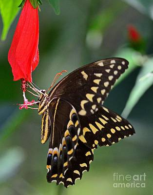 Butterfly Photograph - Butterfly Black Swallowtail Palamedes by Wayne Nielsen