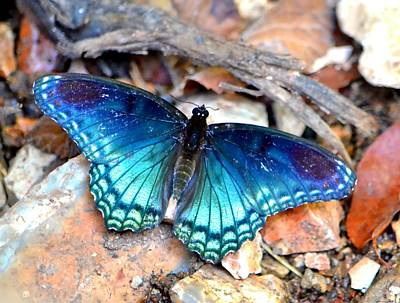 Photograph - Butterfly Blue  by Deena Stoddard