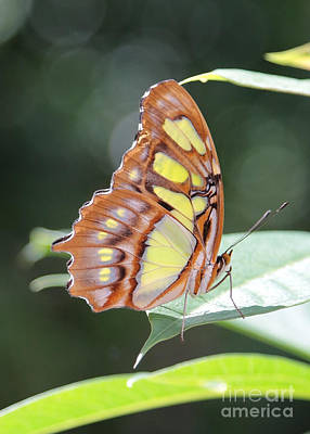 Photograph - Butterfly Bokeh by Carol Groenen