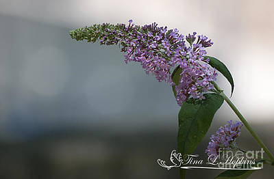 Photograph - Butterfly Bush 20120706_165a by Tina Hopkins