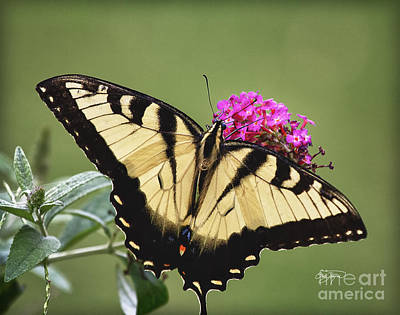 Photograph - Butterfly Bush by Cris Hayes