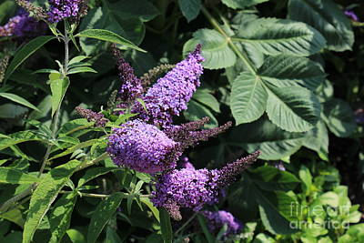 Photograph - Butterfly Bush... by Katy Mei
