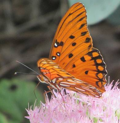 Butterfly Photograph - Butterfly Butterfly 4 by Cathy Lindsey